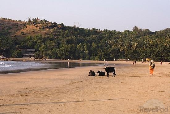 cows-on-kudle-beach-gokarna-canacona