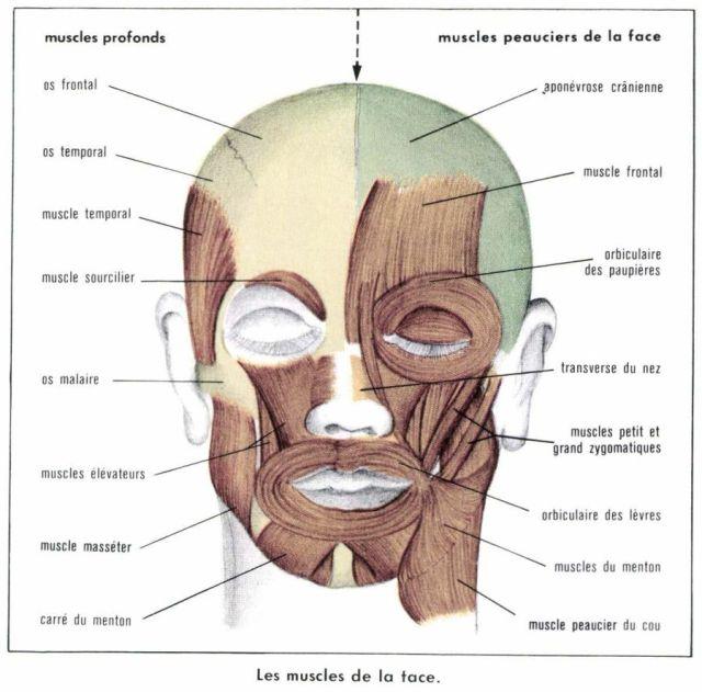 maxillo-faciale-region_001