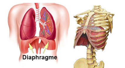 diaphragme2