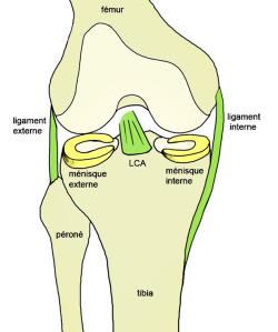 anatomie_genou_ligament_menisque_dessin